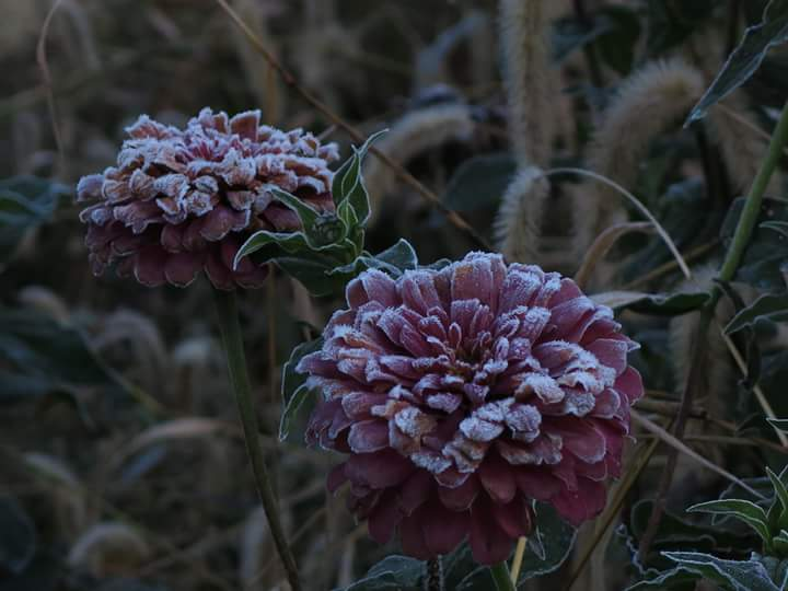 Flowers with Frost